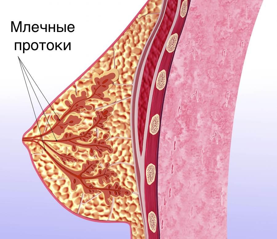 Схема млечных протоков