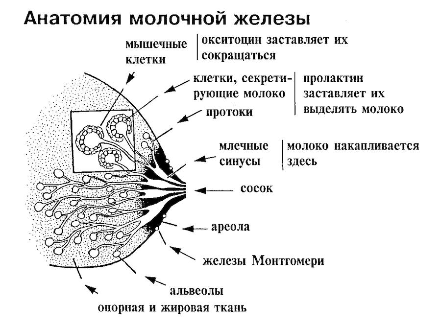 Схема анатомии молочной железы