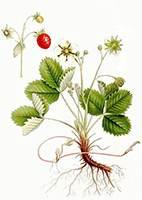 Листья земляники лесной